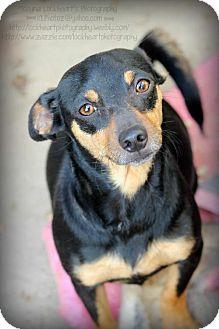 Miniature Pinscher/Terrier (Unknown Type, Medium) Mix Dog for adoption in Atwater, California - Simon