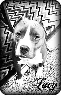 American Pit Bull Terrier Mix Dog for adoption in Roaring Spring, Pennsylvania - Lady aka Lacy
