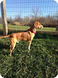 Beagle Mix Dog for adoption in Hazel Park, Michigan - Marvin