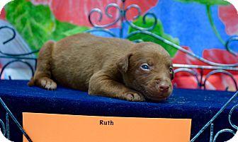 Boxer/Labrador Retriever Mix Puppy for adoption in fredericksburg, Virginia - Ruth