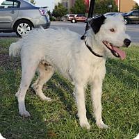 Adopt A Pet :: Hoss In Houston - Houston, TX