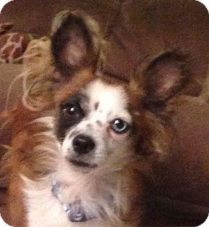 Papillon Mix Dog for adoption in Las Vegas, Nevada - Dice