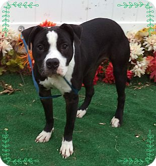 Pit Bull Terrier/Boston Terrier Mix Dog for adoption in Marietta, Georgia - MISTY