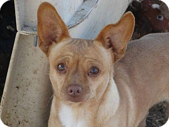 Miniature Pinscher/Chihuahua Mix Dog for adoption in Vacaville, California - Chevy