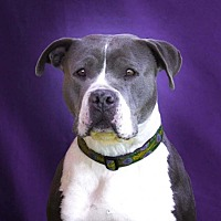 American Staffordshire Terrier Mix Dog for adoption in Toluca Lake, California - Francine