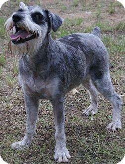 Schnauzer (Miniature) Dog for adoption in Lewisville, Texas - Sophia
