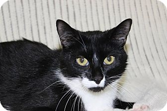 Domestic Shorthair Cat for adoption in Danville, Illinois - OREO