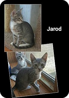 Domestic Shorthair Cat for adoption in North Richland Hills, Texas - Jarod