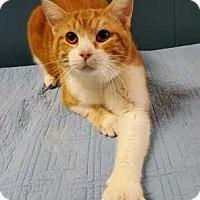 Adopt A Pet :: Cornflake - Barrington, IL