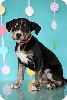 Catahoula Leopard Dog Mix Puppy for adoption in Waldorf, Maryland - Allspice