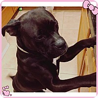 Adopt A Pet :: Willow, just a baby Boxer Lab - Corona, CA