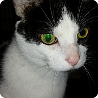 Adopt A Pet :: Ashanti - Toledo, OH