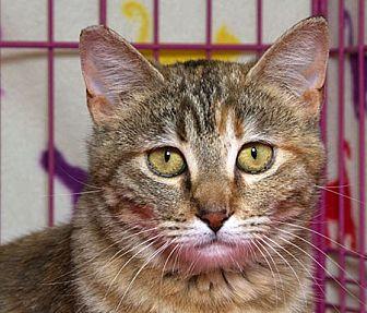 Domestic Shorthair Cat for adoption in Sacramento, California - Foxy W