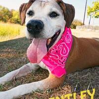 Adopt A Pet :: BENTLEY - Converse, TX