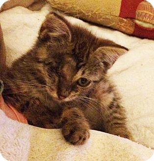 Domestic Mediumhair Kitten for adoption in Metairie, Louisiana - Luke