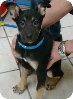 Doberman Pinscher/Husky Mix Puppy for adoption in Haughton, Louisiana - Dude