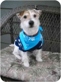 Jack Russell Terrier Dog for adoption in Salem, Oregon - Buddy Boo