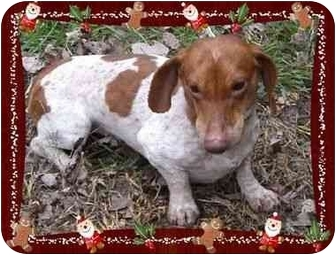 Dachshund Dog for adoption in Harrisonburg, Virginia - Noodle