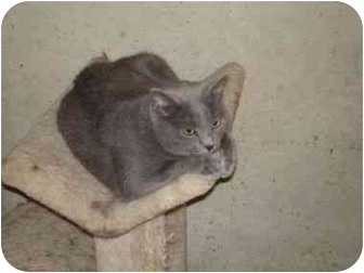 Russian Blue Cat for adoption in Overland Park, Kansas - Smokey