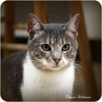 Domestic Shorthair Cat for adoption in Rochester, Michigan - Dexter