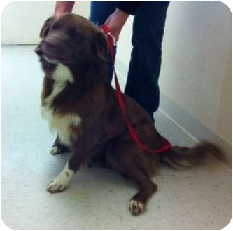 Australian Shepherd Dog for adoption in Haughton, Louisiana - Sabine kill shelter (Lacey)