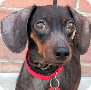 Dachshund Dog for adoption in Los Angeles, California - Adele *VIDEO*