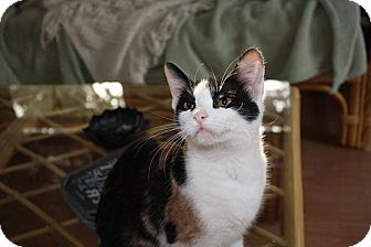 Calico Cat for adoption in St. Louis, Missouri - Phoebe