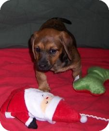 Dachshund Puppy for adoption in Larned, Kansas - Daizy