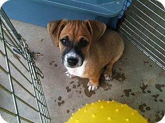 Chihuahua/Dachshund Mix Puppy for adoption in San Ramon, California - Jase