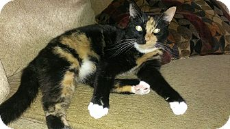 Calico Cat for adoption in Clarksville, Tennessee - Lily