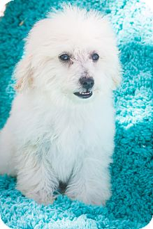 Poodle (Toy or Tea Cup) Mix Puppy for adoption in Auburn, California - Lucy