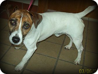 Jack Russell Terrier Dog for adoption in White Cloud, Michigan - Gordy