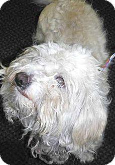 Maltese/Poodle (Miniature) Mix Dog for adoption in Boulder, Colorado - Gibbs