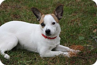 Rat Terrier/Jack Russell Terrier Mix Puppy for adoption in Salem, New Hampshire - PUPPY YODA