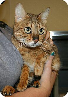 Bengal Cat for adoption in Yucca Valley, California - Pademae Ruby Mumbai