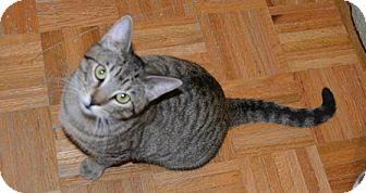 Domestic Shorthair Kitten for adoption in Gilbert, Arizona - JJ