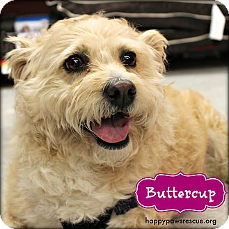 Norfolk Terrier/Terrier (Unknown Type, Medium) Mix Dog for adoption in South Plainfield, New Jersey - Buttercup