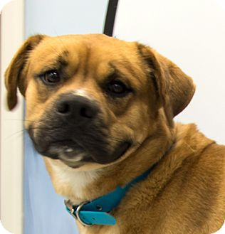 Boxer Mix Dog for adoption in Martinsville, Indiana - Jager