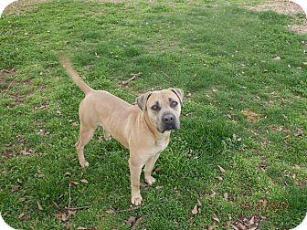 Pit Bull Terrier/Mastiff Mix Dog for adoption in Homewood, Alabama - Max Factor