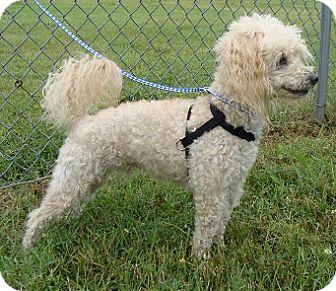 Poodle (Miniature) Puppy for adoption in Oswego, Illinois - Joey