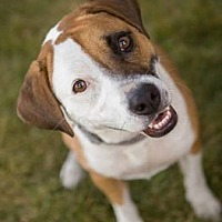 Blue Heeler/Beagle Mix Dog for adoption in Channahon, Illinois - Kaliegh