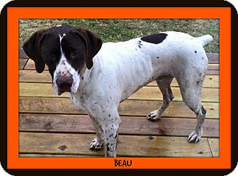 German Shorthaired Pointer Dog for adoption in Laingsburg, Michigan - Beau