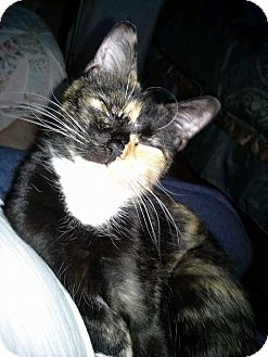 Domestic Shorthair Cat for adoption in Macomb, Illinois - Sassafras