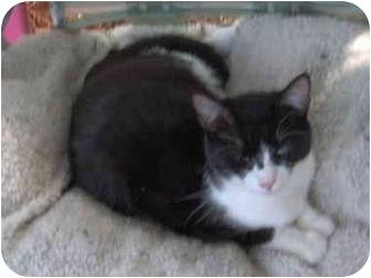 Domestic Shorthair Cat for adoption in El Cajon, California - Sprout