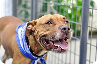 Pit Bull Terrier Mix Dog for adoption in Hanna City, Illinois - Melora