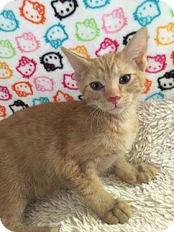 Domestic Shorthair Kitten for adoption in Fountain Hills, Arizona - STARKEY