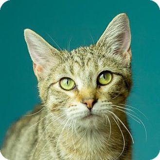 Domestic Shorthair Kitten for adoption in Columbia, Illinois - Tenz
