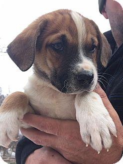 Hound (Unknown Type)/Shepherd (Unknown Type) Mix Puppy for adoption in Pottstown, Pennsylvania - Stryker