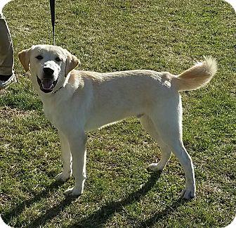 Labrador Retriever Mix Dog for adoption in Cameron, Missouri - Andy