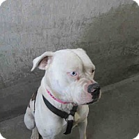 Adopt A Pet :: PALOMA #A1476442 @ East Valley - Beverly Hills, CA